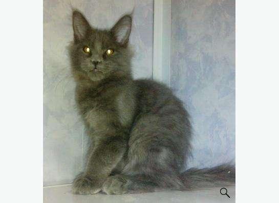 котята Мейн Кун в Екатеринбурге фото 3