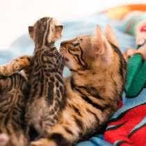 Бенгальские котята, в Курске