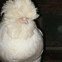 Продаю цыплят элитных пород, в Иркутске