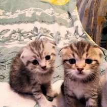 Шотландские котята скотиш фолд, в Москве