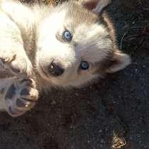 Продам щенков, в г.Костанай