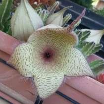 Кактус с большими цветами, в г.Никосия