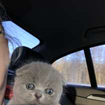 Шотландский котёнок, в Москве