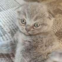 Британские котята, в Дмитрове