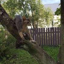 Абиссинский котёнок, в г.Минск