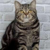 Шотландский кот чёрный мрамор, в г.Кишинёв
