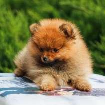 Pomeranian Spitz, girl, в г.Витебск