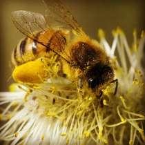 Пчелы, в Москве