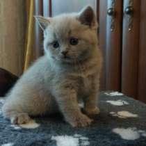 Шотландские котята лучший подарок любимым!, в г.Краматорск