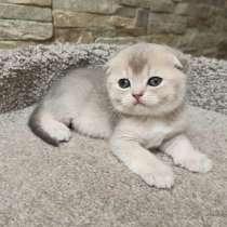 Шотланка котенок, в Курске