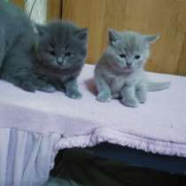Шотландские котята -страйт, в г.Мозырь