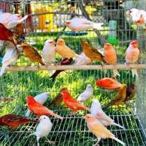 Продаю певчих птиц в Шадринске канарейки, клетки и кенары, в Шадринске