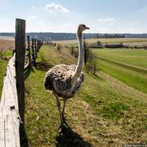 Продадим африканского страуса, в Липецке