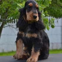Английского кокер спаниеля щенок, в Зеленограде