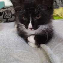Норвежская лесная котята, в г.Киев