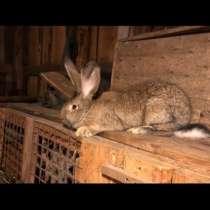 Кролики фландер(ризен), в Санкт-Петербурге