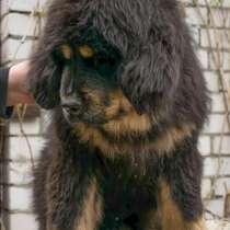 Тибетский мастиф щенки, в Твери
