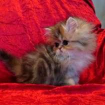Персидские котята ищут заботливых родителей, в г.Дортмунд