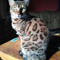 Продам бенгальских котят, в г.Минск