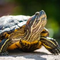 Отдам красноухую черепаху!!, в г.Винница