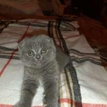 Шотландский вислоухий котенок, в г.Брест