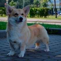 Вельш-корги-пемброк щенки, в г.Dalsbruk
