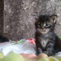 Бронь котят породы Мейн-кун, в г.Гомель