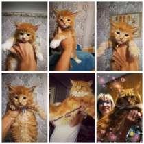 Чистокровные котята мейн-кун, в г.Брест