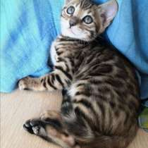 Бенгальский котенок, в Москве