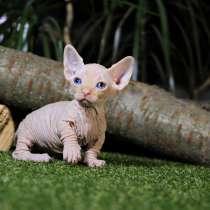 Бамбино кошка карлик на коротких лапках. Голубоглазый мальчи, в г.Украинка