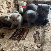 Шотландские котята, в г.Гродно