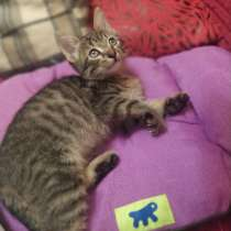 Кошечка Софья, 2 месяца. К лотку приучена. Очень ласковая, в Москве