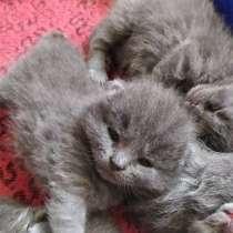 Британские котята, в Туле
