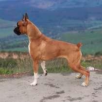 Продам Собаку Боксёр 5 месяцев самка, в г.Бухара