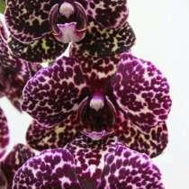 Подростки орхидей в размере 1.7 и 2.5, в Кстове