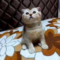 Шотландский вислоухий котик, в г.Могилёв