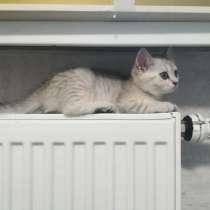 Шотландский котенок, в г.Гомель