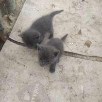 Отдам в добрые руки котят русской голубой, в Йошкар-Оле