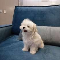 Шикарный Мальтезе щенок, в г.Николаев