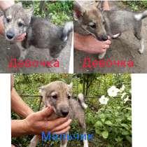 Продам щенков, в г.Павлоград