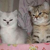 Кошечки скотиш страйт, возраст 3 месяца, в Уфе