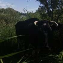 Коровы молочные, в Саратове