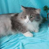 Серый хочет на ручки! Ласковый котик в дар, в Москве