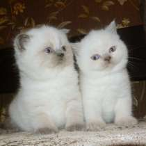 Кошечка и котик колорного окраса, в Санкт-Петербурге