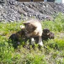 Щенки аляскинского маламута, в Магадане
