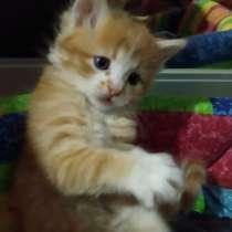 Котята, 1.5 месяца. Игривые, смешные комочки), в Симферополе