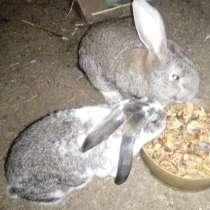 Кролики Великаны, в Камышине