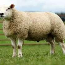 Племенные овцы Тексель (Скот из Европы класса Элита), в г.Ереван