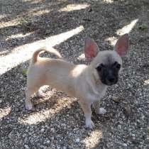 Чихуахуа, щенок из питомника. Возможна доставка в др. город, в Ейске