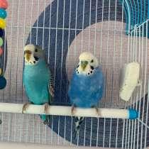 Волнистые попугаи, в Ижевске